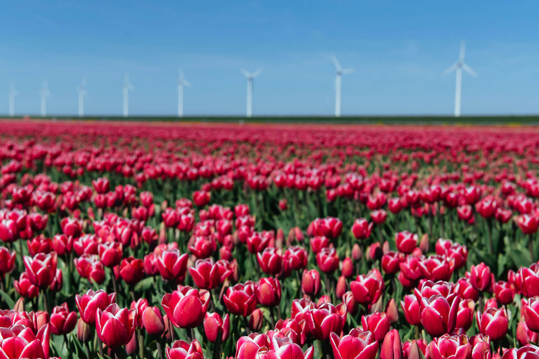 field of tulips and windmills