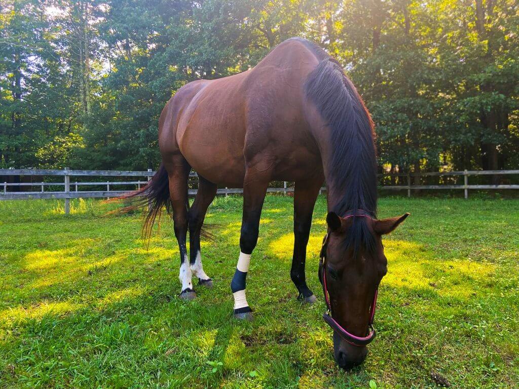 Sheaumann-Equine-NIR-Wound-Healing